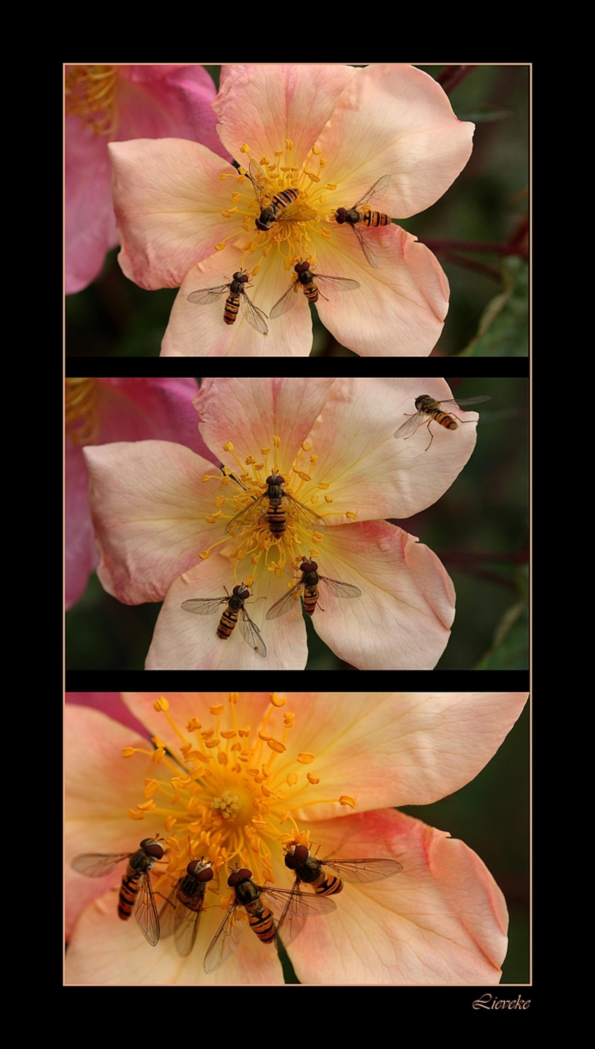 Pink ribbon druk bezochte roos - Nog even een drieluik gemaakt , spijtig dat ze niet voor 3 telt om de  1000 te halen .... - foto door lieveke_zoom op 31-10-2008 - deze foto bevat: roze, bloem, pink, roos, zweefvlieg, rozen, insecten, zweefvliegen, insect, collage, drieluik, ribbon, lint, lieveke, pink-ribbon, pink ribbon - Deze foto mag gebruikt worden in een Zoom.nl publicatie