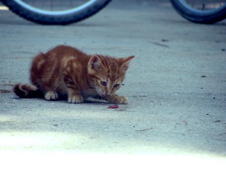 Joya3 - Kitten in Kroatië