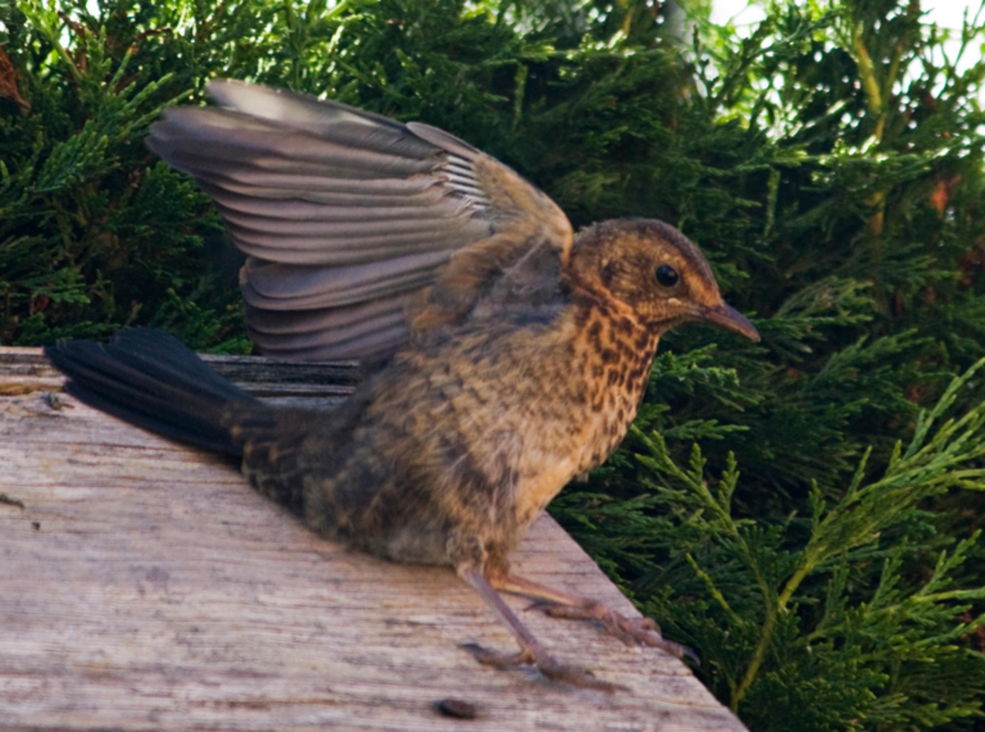 jonge merel - valt bijna van het hokje af - foto door 5hesky6 op 13-07-2009 - deze foto bevat: merel, tuin, vogel, jong - Deze foto mag gebruikt worden in een Zoom.nl publicatie