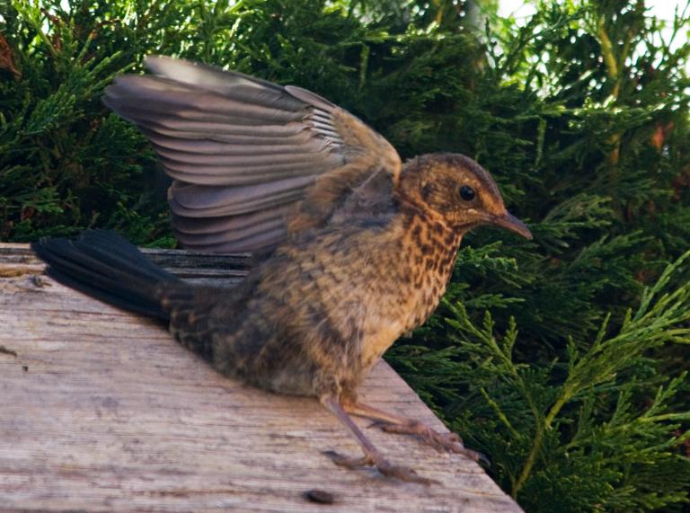 jonge merel - valt bijna van het hokje af - foto door 5hesky6 op 13-07-2009 - deze foto bevat: merel, tuin, vogel, jong