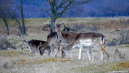 DinnerTime.. - Damherten dineren graag in groepsverband. Vaak is het een wirwar waarbij je vaak een stukje damhert of een compositie die je helemaal niet hebben wil - foto door Redfox16 op 12-04-2018 - deze foto bevat: natuur, dieren, hert, awd, wildlife