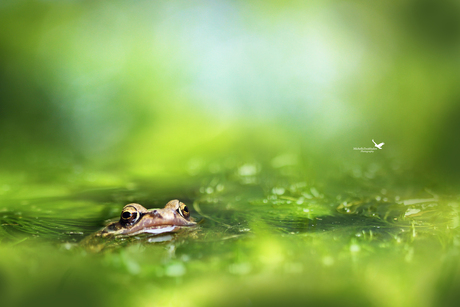 The green frog pond