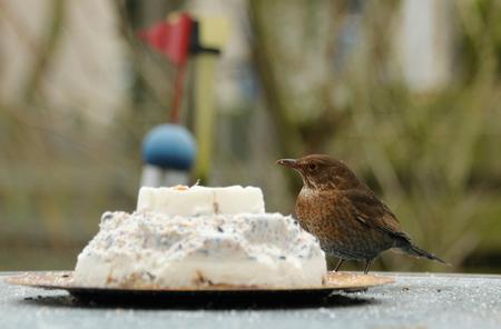 Merel vrouwtje - Er komen ook andere vogels dan spreeuwen op de taart af. Het is me ook gelukt om het vast te leggen. Je ziet ze wel vaak maar ja, dan moet je maar  - foto door yvonnevandermeer op 23-02-2014 - deze foto bevat: merel, vogeltaart