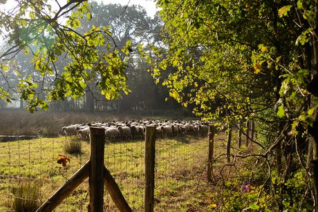 schapenwandeling