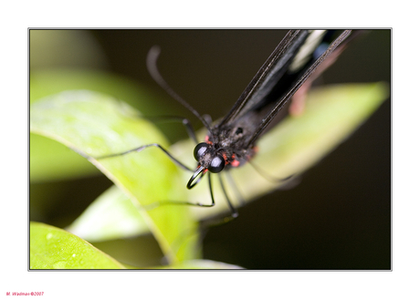 Vlinder toegift