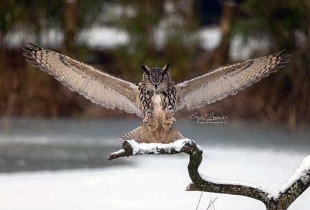 234A2238web - europesche oehoe land op een tak. - foto door madcorona op 04-04-2020 - deze foto bevat: uil, vogels, vogel, landing, oehoe, uilen, roofvogels, europesche oehoe