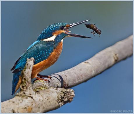 IJsvogel met libel larve 2