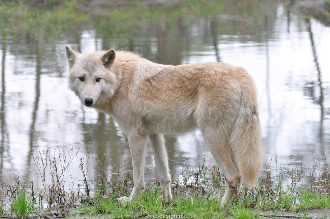 Hudson wolf - Wolf op landgoed Hoenderdaell. - foto door eme-design op 17-10-2013 - deze foto bevat: wolf, water, hudson, verblijf, landgoed hoenderdaell.