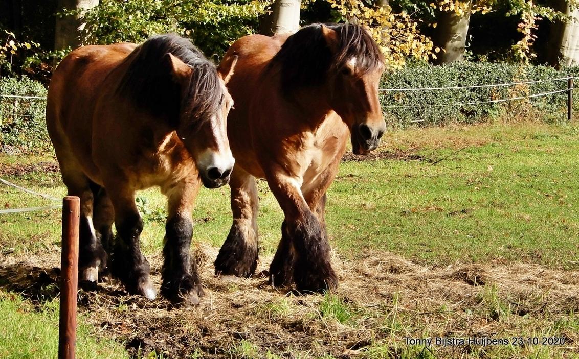 koppel - prachtige paarden liepen in de wei bij de buitenplaats, de eigenaar was er net weer om de paarden nieuw hooi te brengen.  fijne dag en blijf alert - foto door Tonny1946 op 24-10-2020 - deze foto bevat: groen, herfst, paard, afrastering, bomen, weiland, hooi, oktober 2020, buitenplaats hilverbeek
