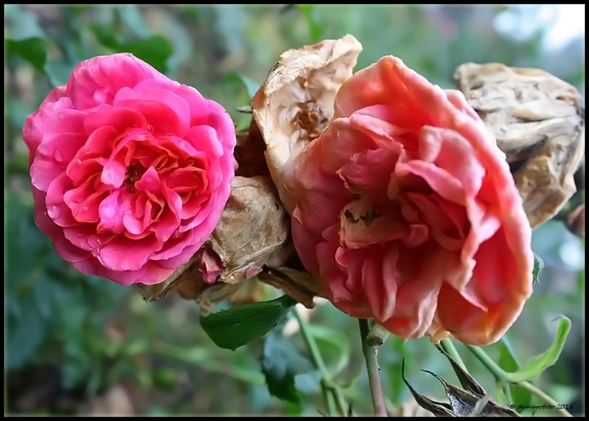 Vergankelijkheid - Foto gemaakt in het rosarium in het Wilhelminapark in Meppel. groet, Jean. - foto door Damarofoto op 17-10-2013 - deze foto bevat: roze, roos, rozen, rose, jean, meppel, vergankelijkheid