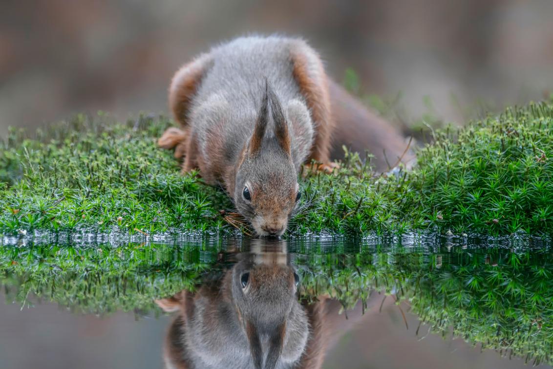 Dorstig - Bedankt voor de leuke en bemoedigende reacties en stemmen op mijn vorige foto`s.  Fijne dag allemaal!  Groetjes, Albert - foto door AGDBeukhof op 12-02-2020 - deze foto bevat: groen, spiegel, water, natuur, herfst, mos, dieren, spiegeling, reflectie, eekhoorn, bos, dorst, herfstkleuren, drinken, dorstig, waterdrinken, bosdieren, bruine tinten