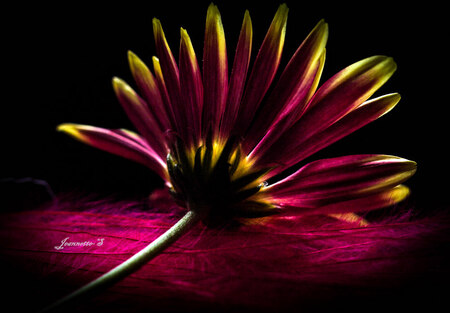 me and my colours... - experimenteren... - foto door jeannetje op 28-10-2013 - deze foto bevat: roze, kleur, macro, bloem, bloemen, close up