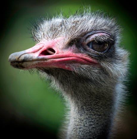 Struisvogel.jpg
