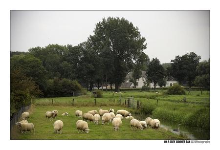 On a grey summer day - - - foto door Octo op 24-08-2008 - deze foto bevat: landschap, zomer, schapen, grijs