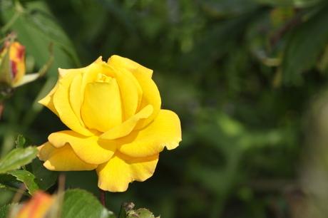 mooie gele roos