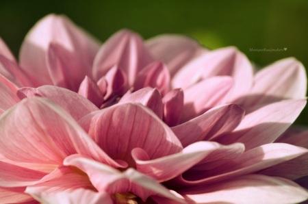 DON'T... - Don't preach what you don't live, don't promise what you cannot honor, and don't love who you don't first trust!   Louis Martin jr - foto door Monere op 19-10-2013 - deze foto bevat: roze, groen, macro, bloem, natuur, tuin, dahlia, helmond
