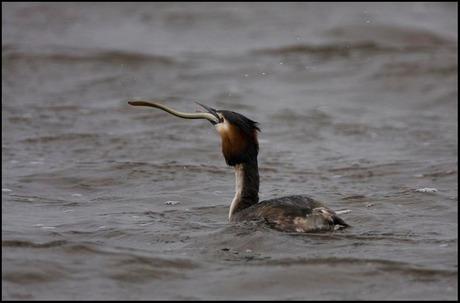Fuut met paling