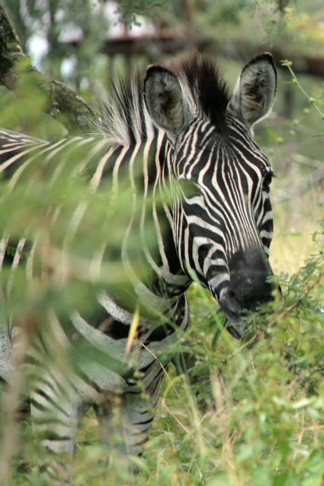Zebra - Zebra door de bosjes, Kruger Nationaal Park - foto door ellesstuivenga op 01-12-2014 - deze foto bevat: zebra, dieren, safari, afrika, wildlife