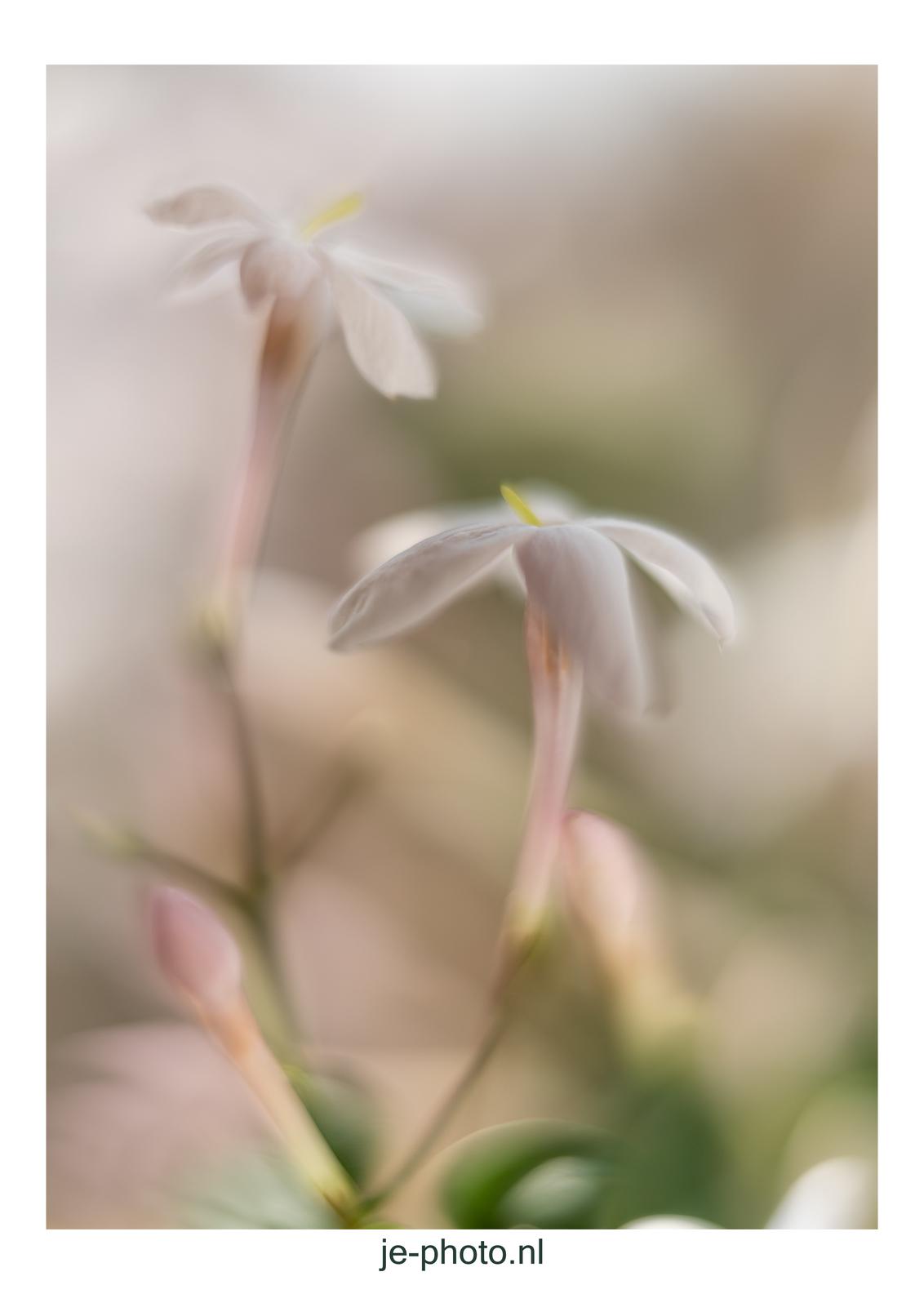 Jasmijn - - - foto door je-photo op 04-03-2021 - deze foto bevat: bloem, tussenringen, dof, jasmijn, bokeh