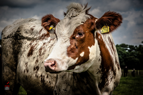 Cow-art