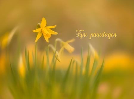 Fijne paasdagen - Iedereen heel fijne paasdagen gewenst! - foto door Berthe2 op 01-04-2021 - deze foto bevat: groen, geel, narcis, voorjaar, pasen, narcissen