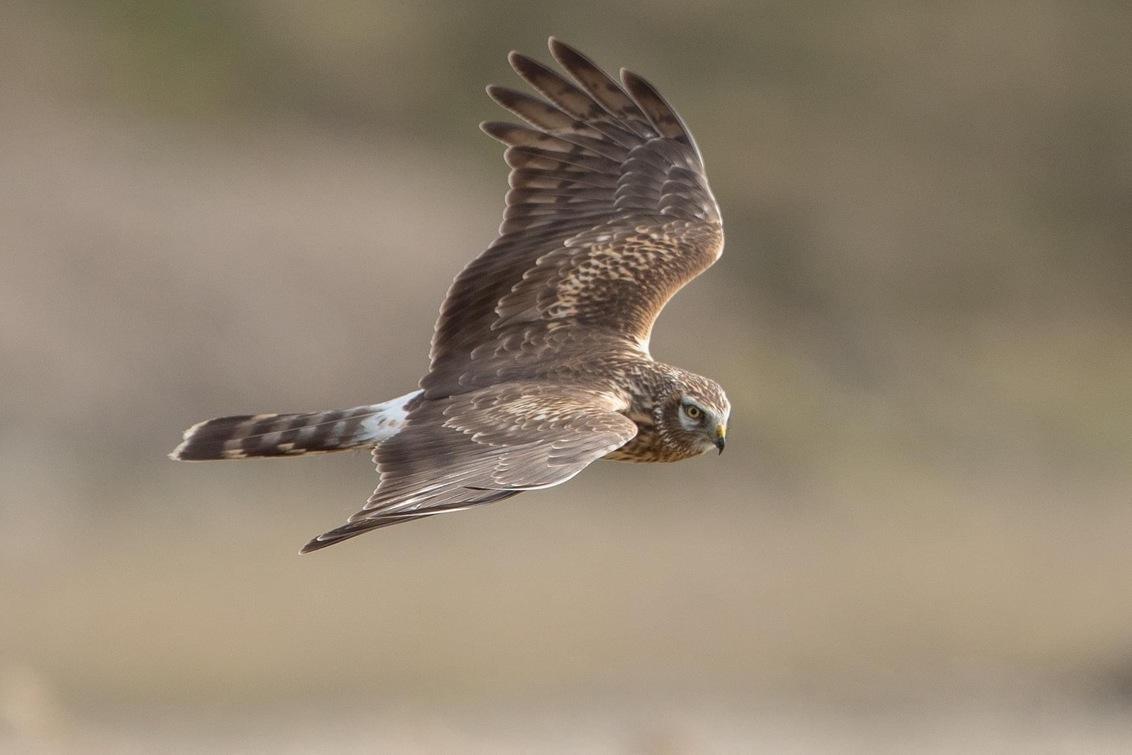 Blauwe Kiekendief - Blauwe Kiekendief kwam mooi langs vliegen, - foto door kasteelheertje op 25-02-2021 - deze foto bevat: natuur, dieren, vogel, roofvogel, wildlife, polder, blauwe kiekendief