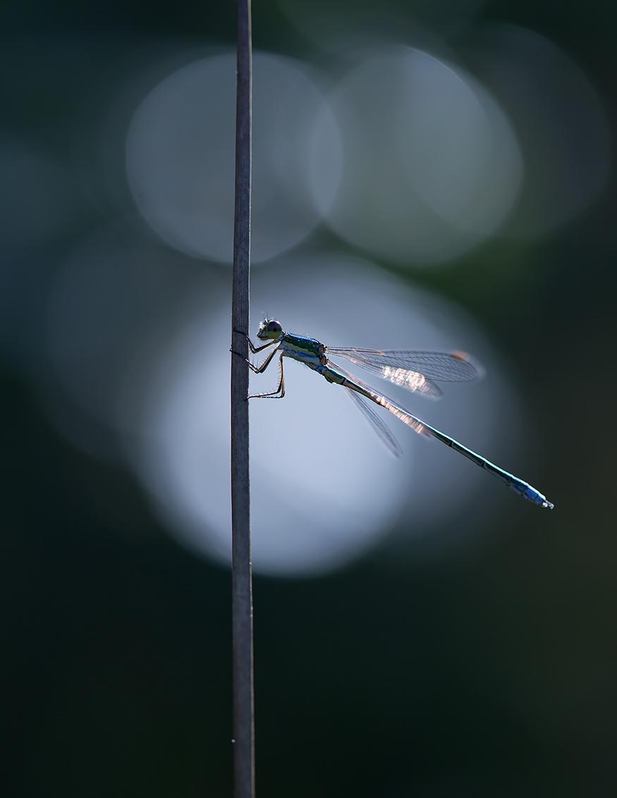 Damselfly - Tegenlicht, een koele witbalans, een klein diafragmagetal en een gewillig model... - foto door FrankDalemans op 21-11-2015 - deze foto bevat: macro, blauw, juffer, natuur, licht, libel, tegenlicht, insect, dof, bokeh