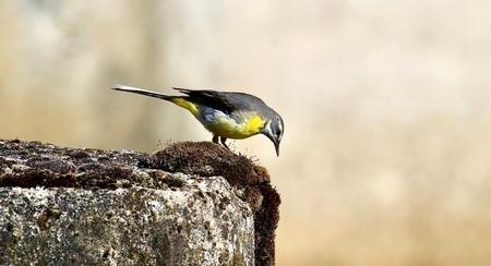 Grote gele kwikstaart - De grote gele kwikstaart is een zangvogel,die het liefst broedt langs stromende beken of rivieren,met name in het oosten van ons land.Verlaat in de w - foto door GerardvO op 04-12-2020 - deze foto bevat: vogel