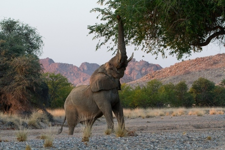 Woenstijn olifant
