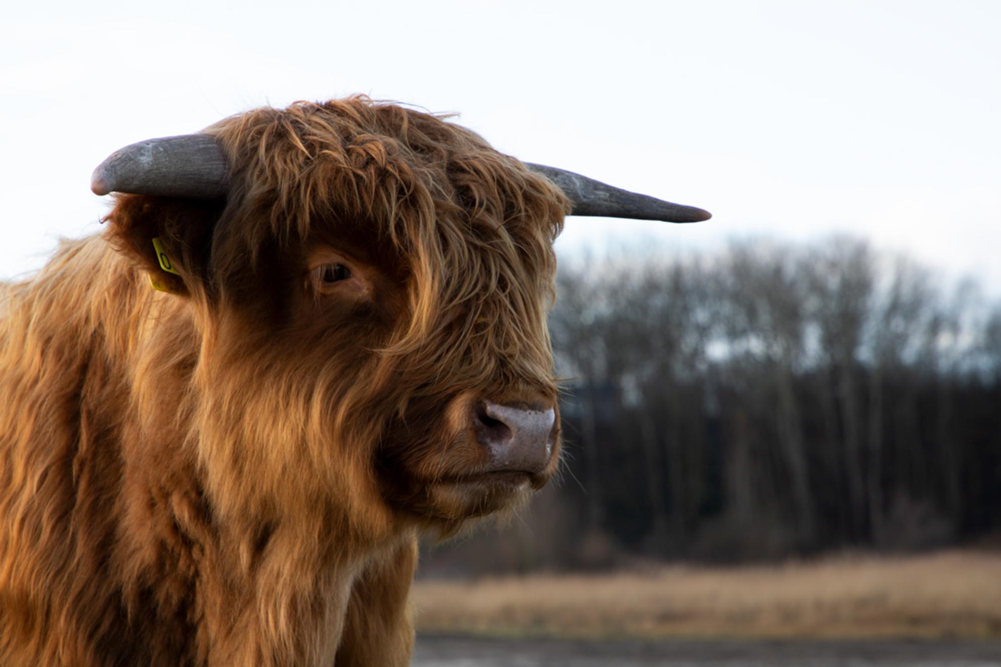 Schotse Hooglander in Lentevreugd - - - foto door william_ton op 24-01-2021 - deze foto bevat: koe, duinen, katwijk, wassenaar, schotse hooglander