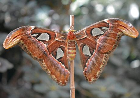 Attacus Atlas (Atlasvlinder)