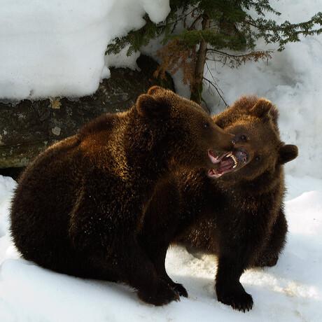 Europese bruine beer Ursus arctos arctos