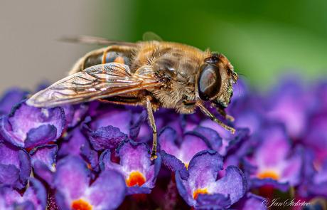 Blinde Bij/ Zweefvlieg op vlinderstruik