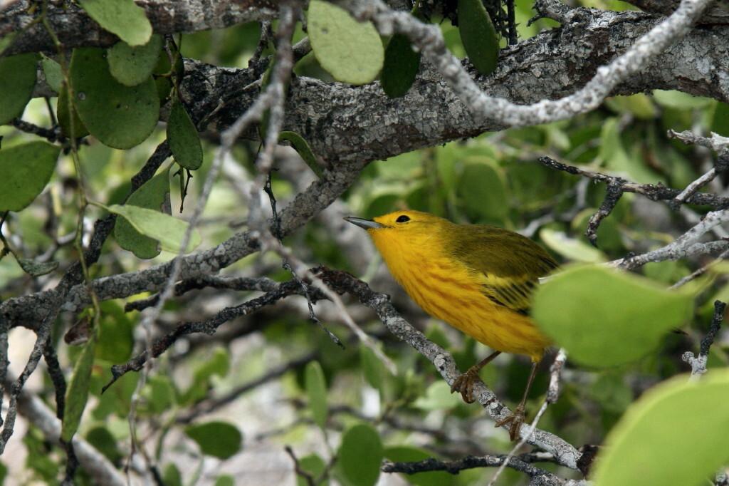 Yellow Warbler - Bijna struikelend over de zeeleeuwen en de vele landleguanen, ontdekten we dit kleine vogeltje in een struik, tijdens ons bezoek aan het kleine eilan - foto door Gerleng op 23-01-2009 - deze foto bevat: vogel, yellow, galapagos, eiland, zanger, zangvogel, warbler, fluiter
