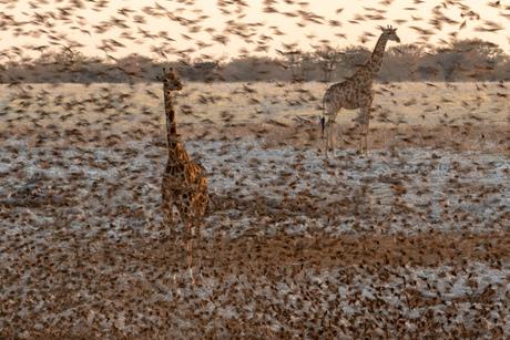 Giraffen of wevers, wevers of giraffen...