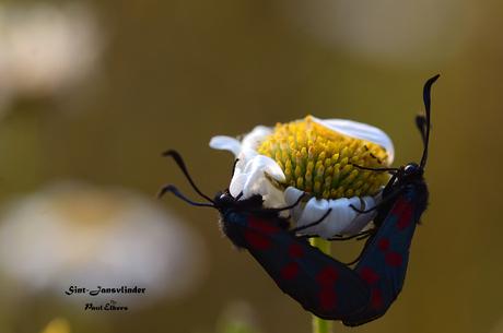 Parende Sint-Jansvlinder