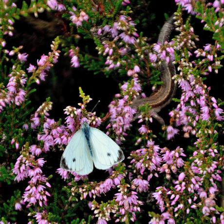 Vlinder wordt belaagd door hagedis.