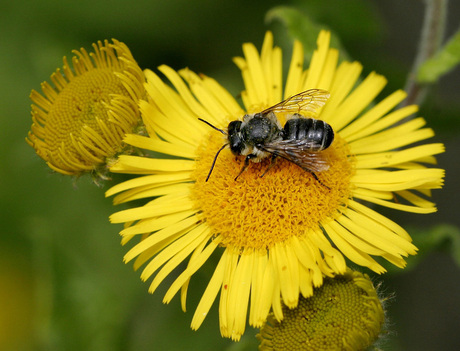 Zilveren Fluitje - Megachile leachella