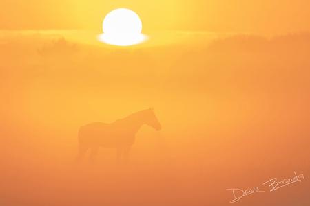 Paarden in de mist - De zonsopkomst, dichte mist en een paard wat het beeld in is gelopen. In combinatie met een telelens levert dat een schitterend beeld op! Ik ben echt - foto door daveenrenee op 21-05-2020 - deze foto bevat: zon, natuur, ochtend, oranje, ochtendzon, mist, bos, zonsopkomst, wildlife, opkomst, betuwe, vroeg