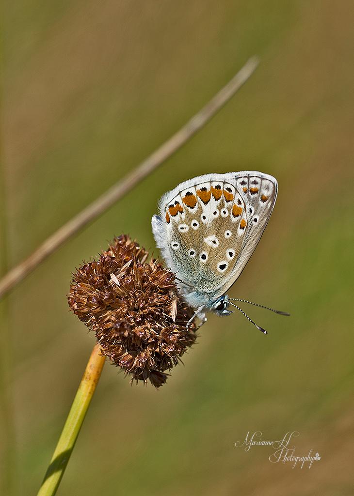 blauwtje - Icarusje. - foto door Sizzle op 21-08-2013 - deze foto bevat: macro, natuur, vlinder, icarus