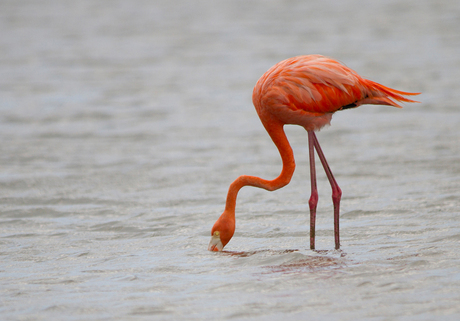 Caribische flamingo (Curaçao)
