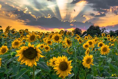 Taarlo, zonnebloemen