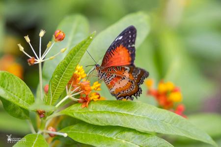 """Vlinders aan de Vliet - De Cethosia cyane, oftewel de leopard lacewing vlinder bij """"Vlinders aan de Vliet"""" in Leidschendam.    Vandaag in de tuin een beetje wezen testen m - foto door amsterdamned_zoom op 27-09-2020 - deze foto bevat: macro, vlinder, insect, holland, nederland, vlindertuin, leidschendam, amsterdamned, vlinders aan de vliet, Cethosia cyane"""