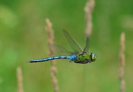 Grote Keizelibel - vliegend