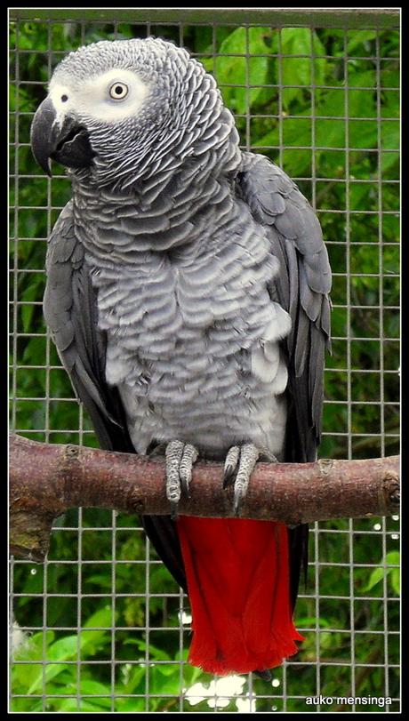 mijn grijze roodstaart
