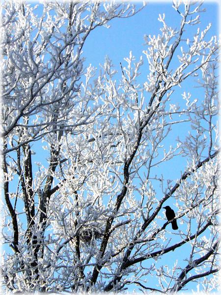 Crystal White 2 - 22 december Hoogeveen  Ik heb al vele 'witte foto's' gezien, maar elke foto is uniek.. toch?!  Dit is foto nummer 2.  Op 22 december scheen de  - foto door daniel44 op 25-12-2007 - deze foto bevat: wit, natuur, rijp, ijs, vogel, bomen, koud, kristal, hoogeveen, daniel44