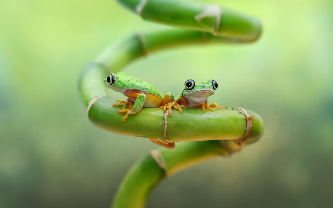 Not interested - Tja dacht ik dit stelletje even samen gezellig op de foto te zetten voor de familie lemuur maar de de linker had weinig interesse . Blijkbaar gefocu - foto door h.meeuwes op 16-01-2020 - deze foto bevat: groen, macro, oranje, samen, twee, ogen, tropisch, dof, boomkikker, spiraal, negeren, bokeh, grote ogen, agalychnis lemur, afwijzen