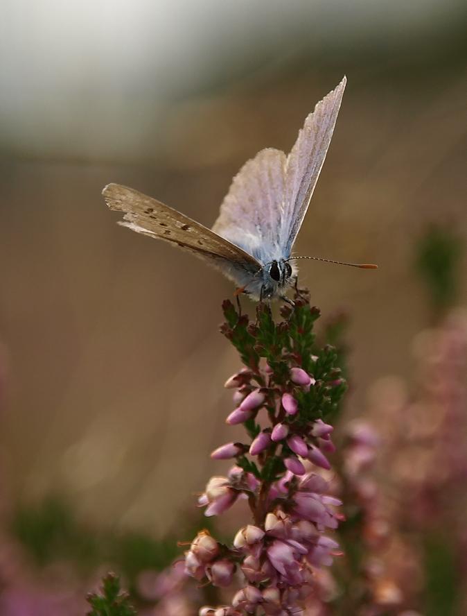 pink ribbon, licht aan de horizon - Heideblauwtje op heide. Deze foto laat het licht zien op de achtergrond, dat gelukkig vaak ook aanwezig is. - foto door Duckie_zoom op 09-10-2010 - deze foto bevat: heide, heideblauwtje, pink ribbon