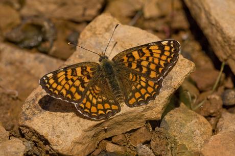 Vlinder op steen