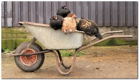 gezellig hè, dames - soms zit ie helemaal vol, met kippen dan... al hebben de dames liever dat er nog mest in zit, die ze er dan vrolijk weer uit kunnen krabben. - foto door 5hesky6 op 25-01-2009 - deze foto bevat: kip, kippen, gezellig, kruiwagen
